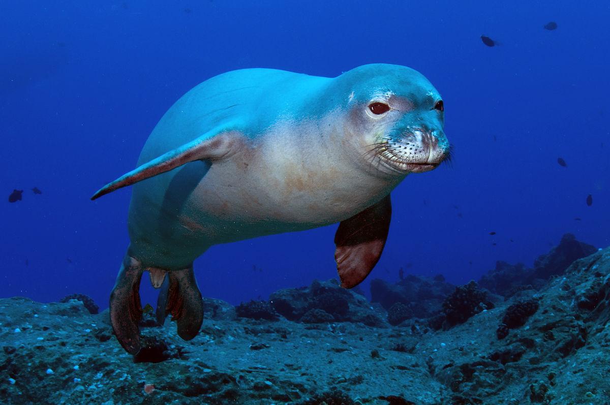 夏威夷僧海豹掛著「長長的鰻魚鼻涕」 呆萌蠢樣網笑到躺平:快幫他抽出來啦XD