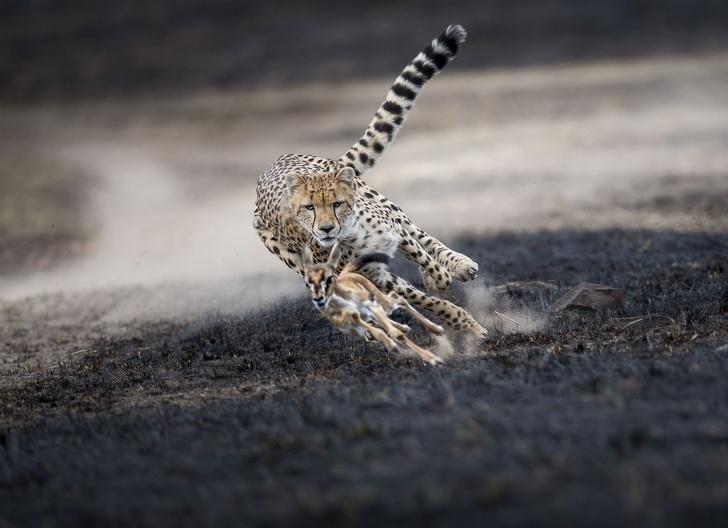 2018年「19個最完美的大自然瞬間」 獵豹追逐小羚羊的結局...其實顛覆食物鏈的頂端!