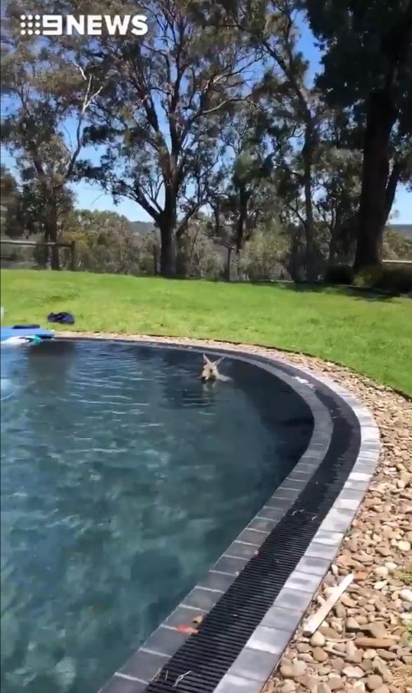 你家就是我家!70KG袋鼠闖別人家「進泳池玩水消暑」 泡到不想離開...下場悲劇了
