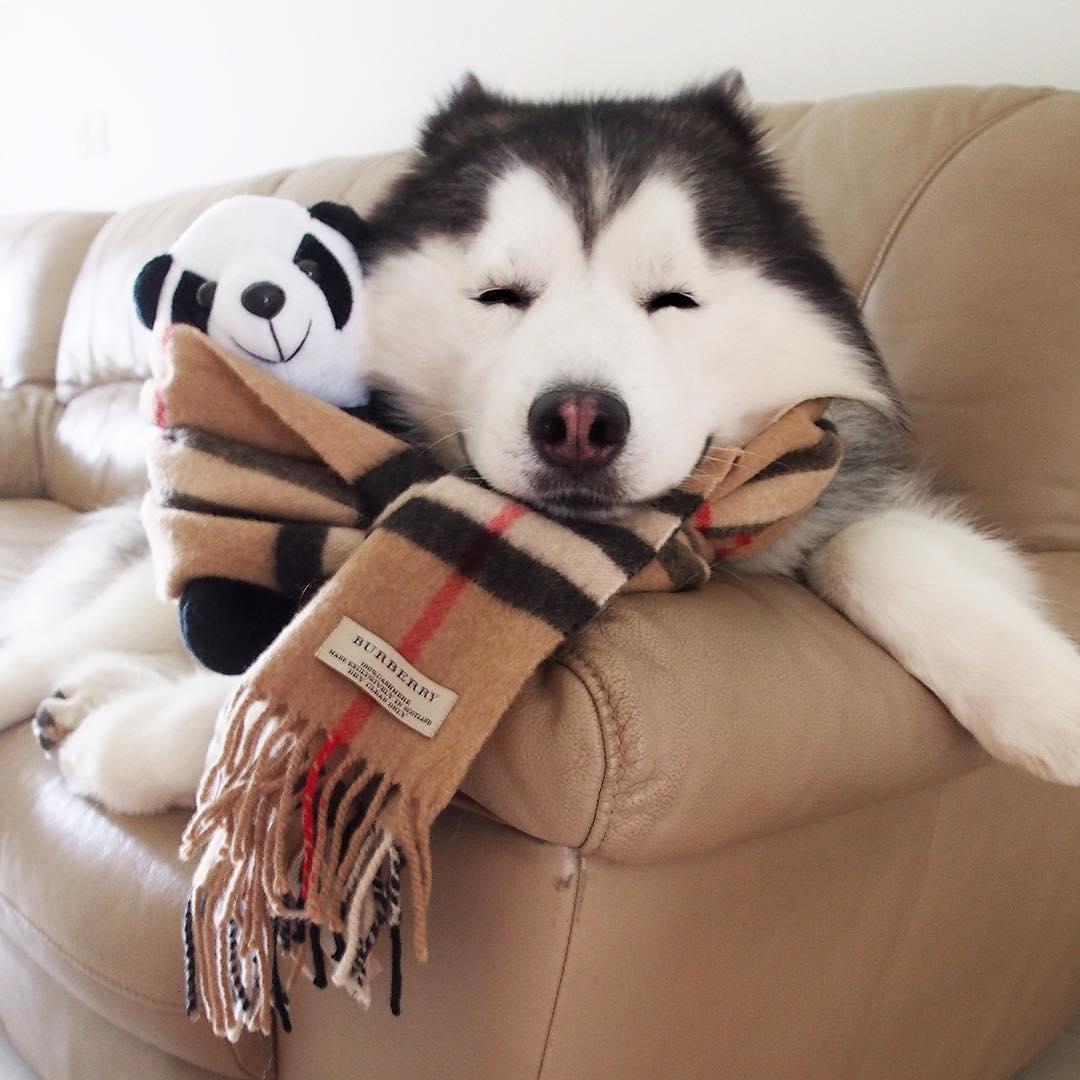 20張證明「狗狗24小時都在裝可愛」的超萌照片 撒嬌想要繼續賴床的薩摩耶❤