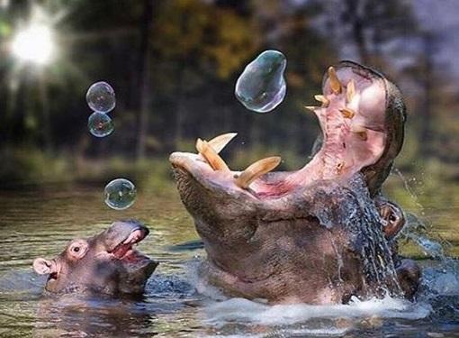 10張讓你「邊看邊被萌到一臉熱」的超Q小河馬 看到泡泡開心到臉歪的表情♥