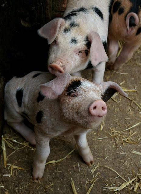 17個「你其實太小看動物」的有趣事實 在瑞士只養一隻天竺鼠是違法的!