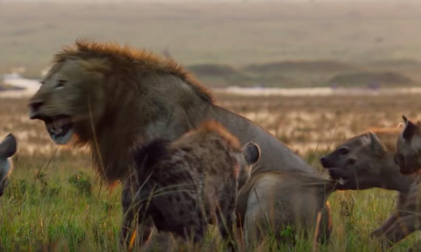 影/被20隻鬣狗圍攻「獅子嚇到泛淚」 神秘黑影出現...哥哥不顧性命衝過來!