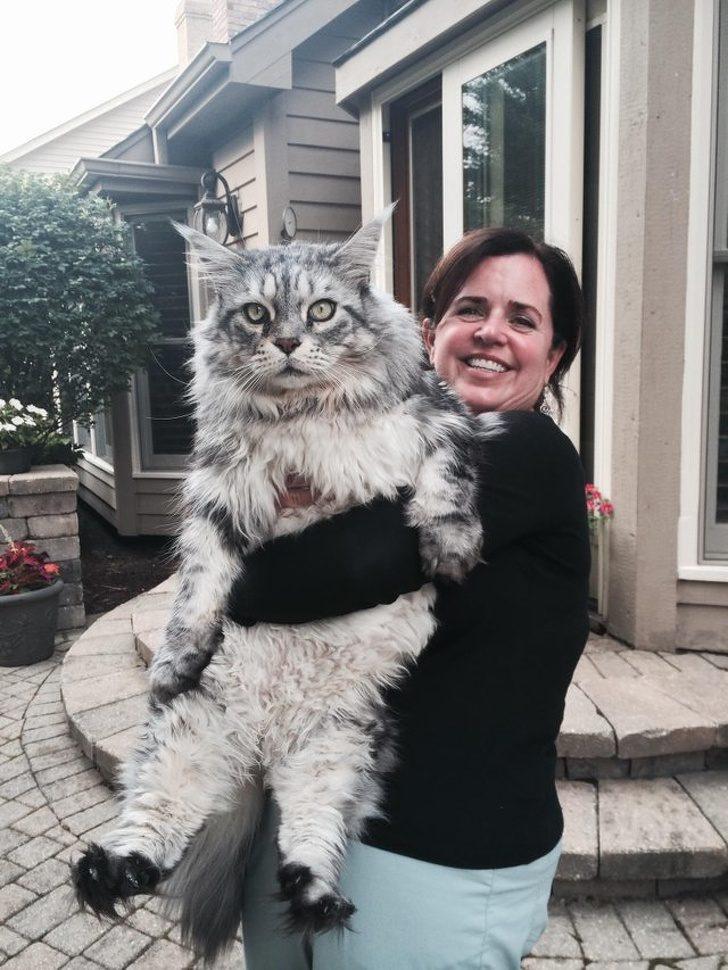 溫柔的巨人...21張「站起來比人還高」的巨大緬因貓 原來是喵星球的國王陛下!