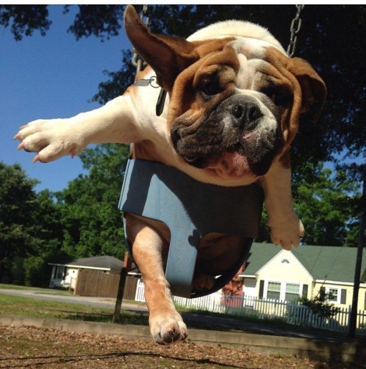 內建傻呆臉!25張「讓你一秒愛上鬥牛犬」的可愛畫面 滾完泥巴浴變廟口石獅像了❤