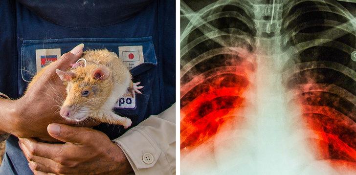 13個你從來都不知道「有神奇關聯」的事實 老鼠除了能偵測地雷…還可以在醫院工作!