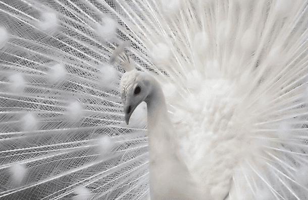 32張「被上帝用小畫家一鍵填色」的仙氣白化動物 白化烏鴉直接霸氣全失啦!