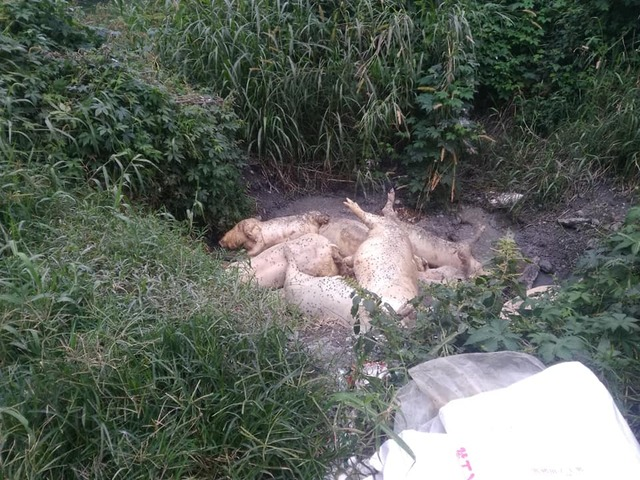 有夠沒良心!花蓮驚傳豬農把「病豬堆滿河邊」 網友心碎:台灣豬也淪陷了...