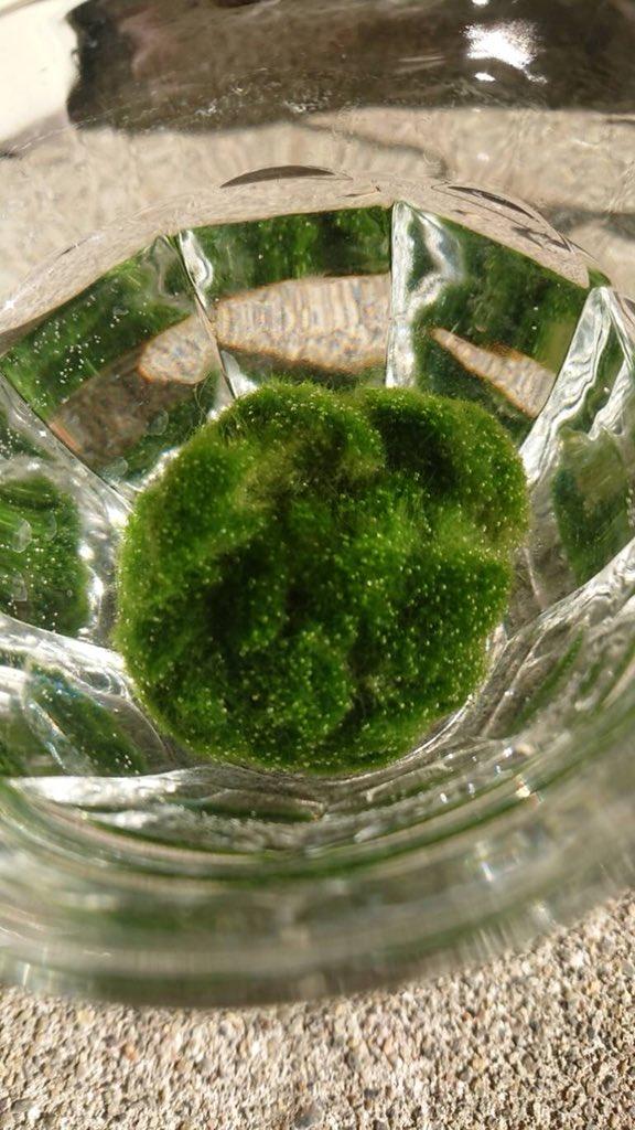 獨居男「養綠藻球當愛人」超呵護 換水6年發現綠藻真面目...只能躲角落哭了QQ
