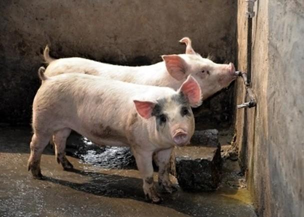 歐洲豬瘟50年後才真的清楚 最後發現起源只是「一桶餿水」卻差點變成生化浩劫!