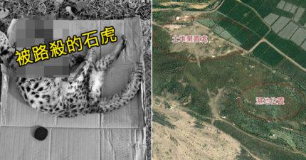 狂燒8000萬!苗栗把石虎棲地剷平「蓋濕地公園」 鎮公所「這裡不是棲地」被衛星雲圖打臉