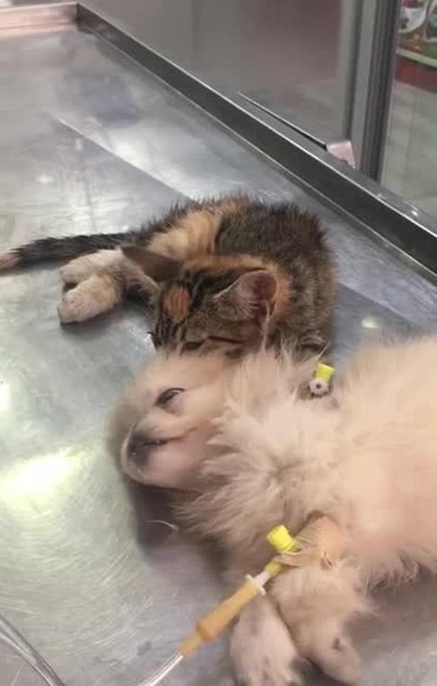 療癒片/狗狗躺著打點滴...小小貓「用肉球踏踏幫按摩」 兄弟你要快點好起來QQ