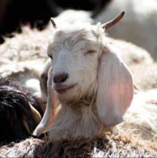 辛苦存70萬被當草吃!農場主人爆了 直接邀記者一起「烤羊串串燒」吃光洩恨