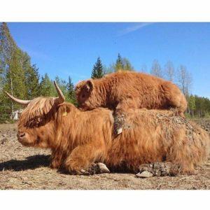 還以為是娃娃!蘇格蘭高地牛「全身毛茸茸」超像絨毛玩具 網友全暴動:好想抱抱看~