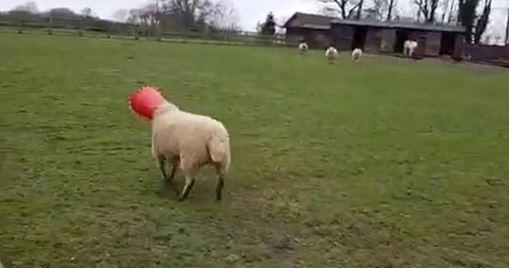 因為貪吃的尷尬經驗!這隻母羊以為自己吃到天黑 主人背後一看驚呆「紅色桶子哪來?」