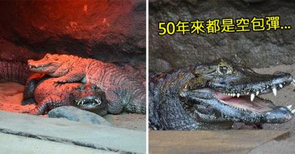 鱷魚夫妻結婚50年全生下「空包蛋」 獸醫檢查完忍不住流淚:真的太小...