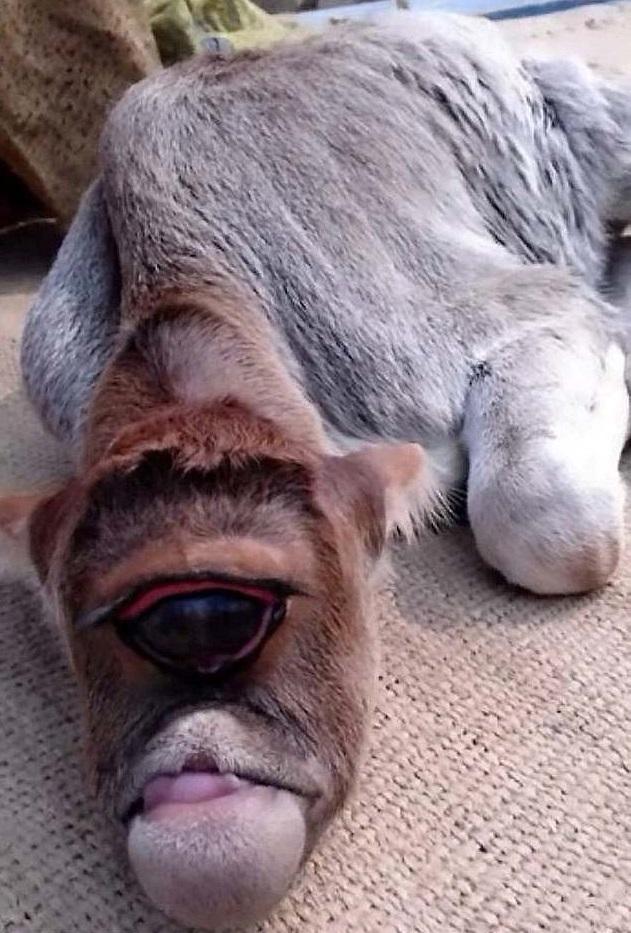 家裡的牛生出「惡魔之眼小牛」 單顆大眼直接從「人類糧食→眾人膜拜」:絕對是牛神轉世!