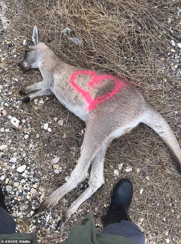 澳洲袋鼠路倒草叢...身上卻出現「神祕記號」 專家:被噴漆的都是檢查過的!
