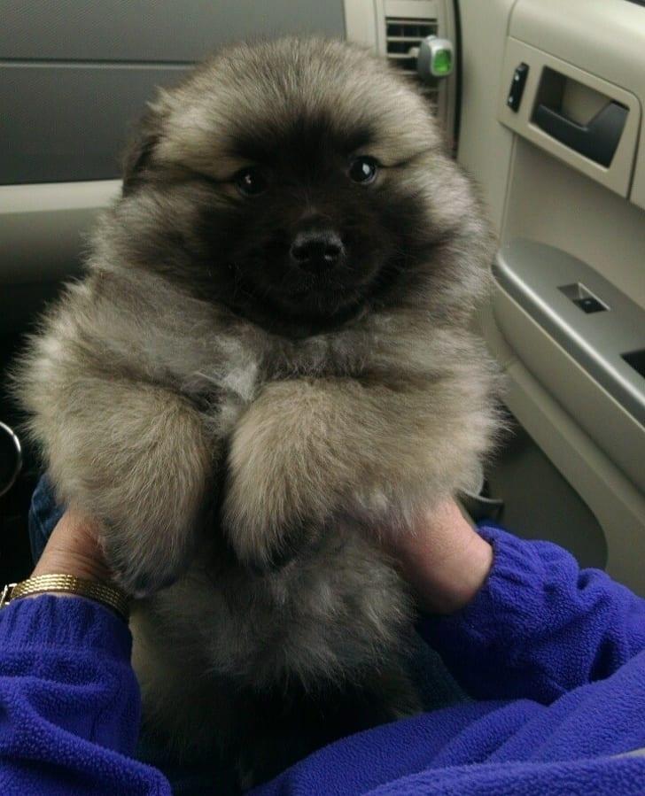 秋田犬+哈士奇夢幻到像神獸!20張證明「混血基因永遠都突破100分」的超萌混血狗狗