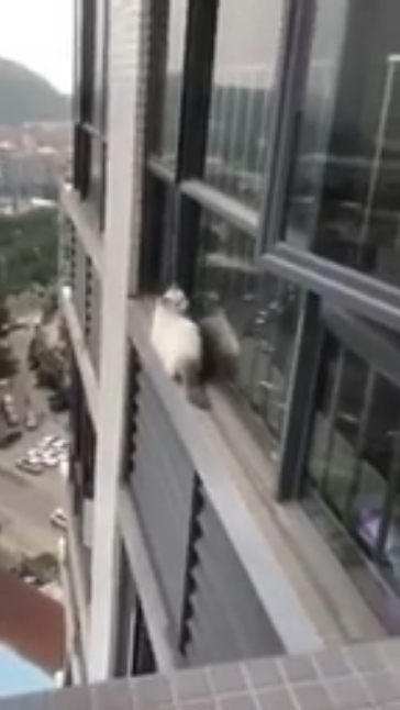 心碎片/貓貓溜到窗外看風景 想轉身回家卻失足...攀住外牆2秒仍「下墜消失」