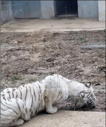 武漢動物園「孟加拉白虎趴著吃土」 民眾傻眼投訴...園方回應卻引更大公憤!