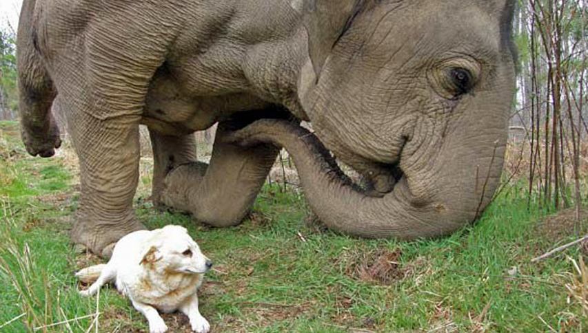 好麻吉過世!大象每天站墓前發呆 飼養員心疼:也是牠把狗狗運回來的