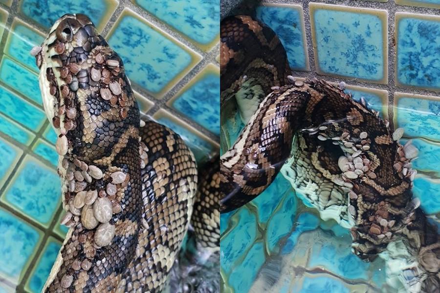 恐怖片/衰蛇被「511隻壁蝨」穿咬 闖入泳池「自淹」讓專家心碎:牠在最後求生!