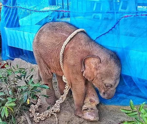 2個月象寶寶哭著「親眼看媽媽倒下」 牠日夜瑟縮牆角...腳被獵人弄到「幾乎變2截」