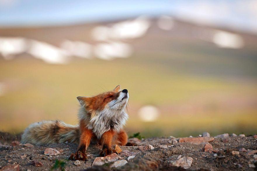 他深入沒人類污染的北極 發現「最美的狐狸之鄉」一家大小超可愛