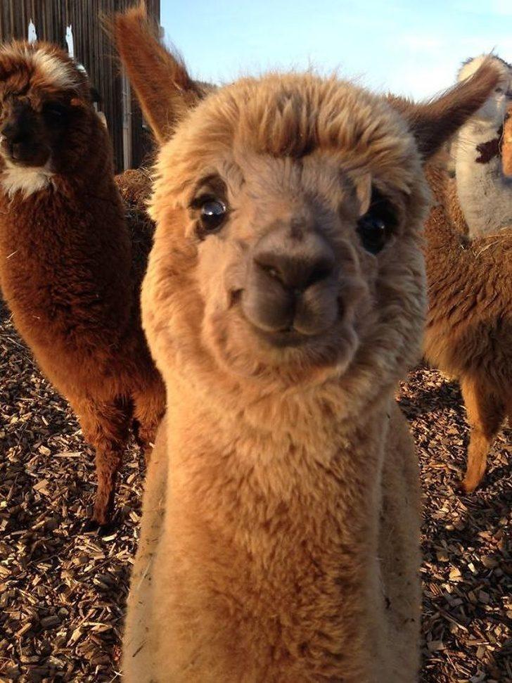 草泥馬是世界上最可愛的動物?20張證明草泥馬「擁有最迷人基因」的爆笑照片