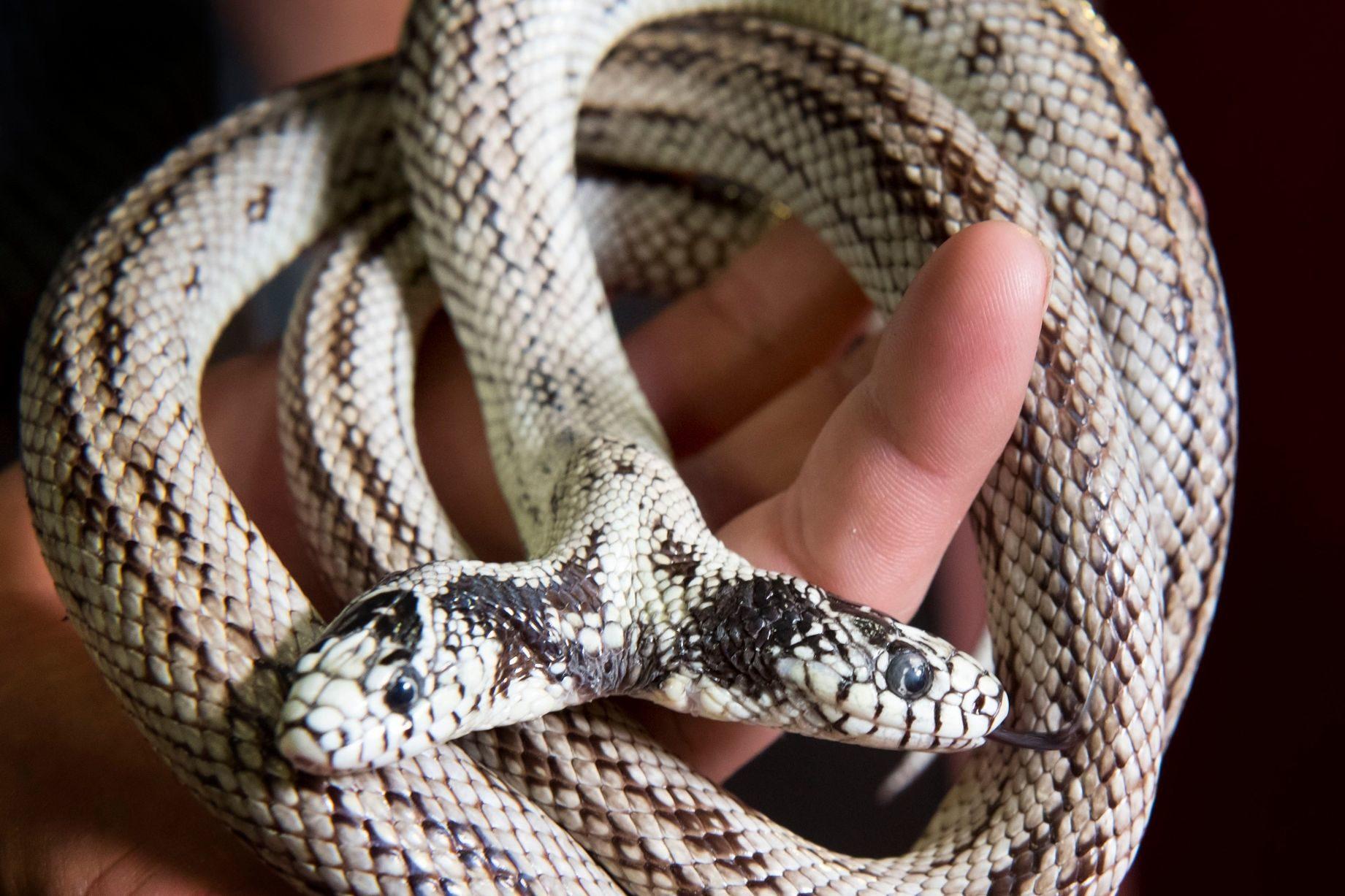 10個世界上最詭異的「基因突變動物」 雙頭蛇根本就像傳說裡的神獸!