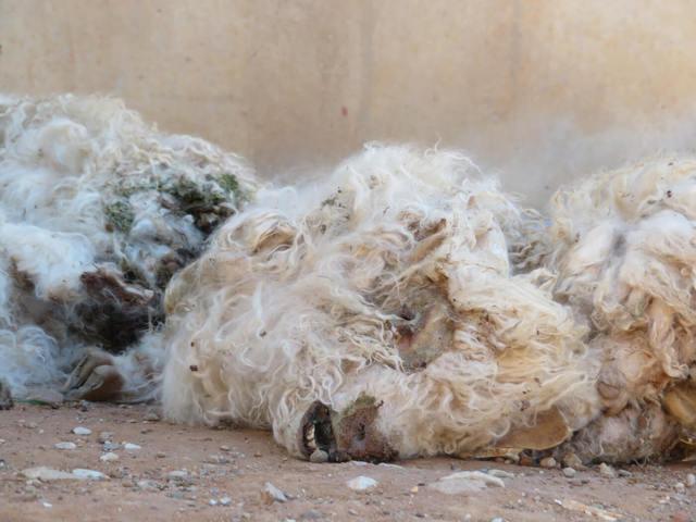 天氣冷穿羊毛外套吧...高檔皮草「取毛過程」讓人心疼 小羊被抓2隻腳拿下白毛!最後還要滿足人類肚子