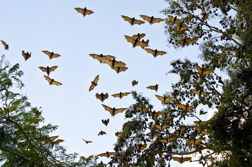 中國恐變成下個非洲!大陸蝙蝠出現「新種伊波拉病毒」 被咬一口...血再也停不了!
