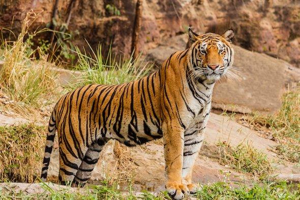 全球只剩4000隻!人類100年「消失96%的老虎」 專家:繼續「進補」就只剩標本了!