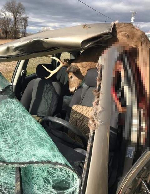 美國夫婦開車「瞬間插進一隻公鹿」 擋風玻璃全碎掉...車頂也整個掀開!
