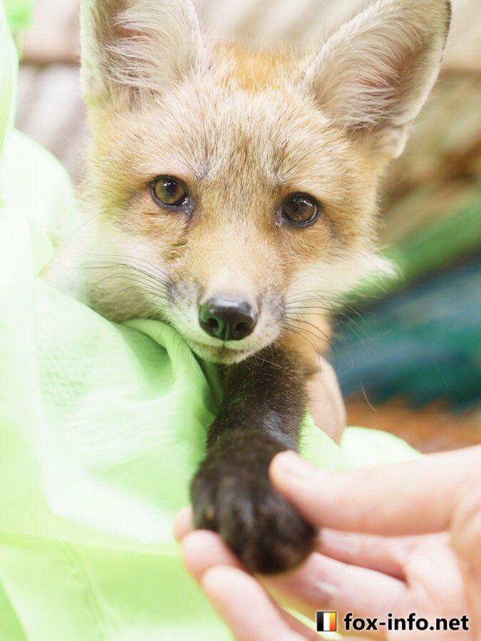 冬天限定出現「液態狐狸」!為存活只能「一坨坨白麻糬」趴在落葉堆...讓人好想抱回家呀~