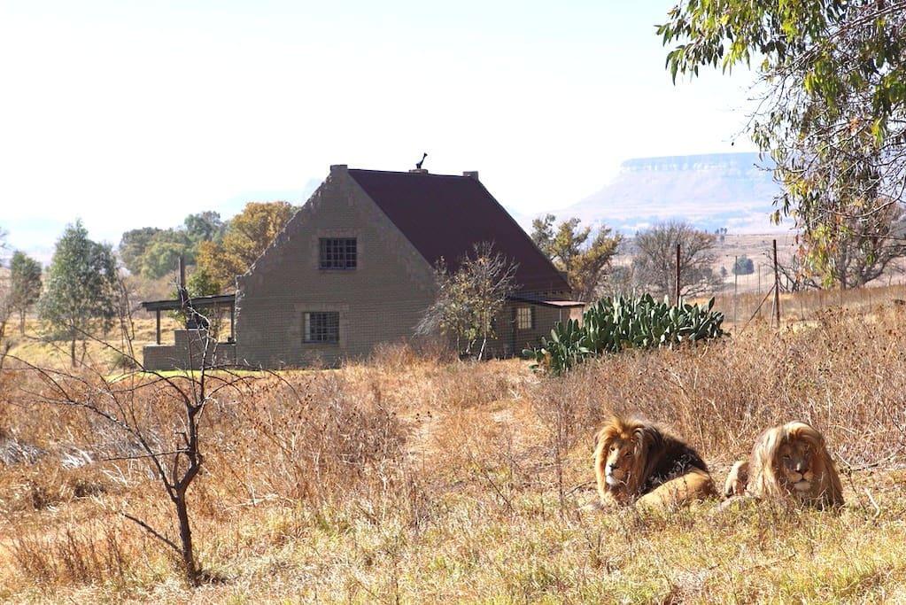 太刺激!南非超狂民宿每天「被77頭成年獅包圍」 卻吸引無數遊客朝聖:活著出來是奇蹟