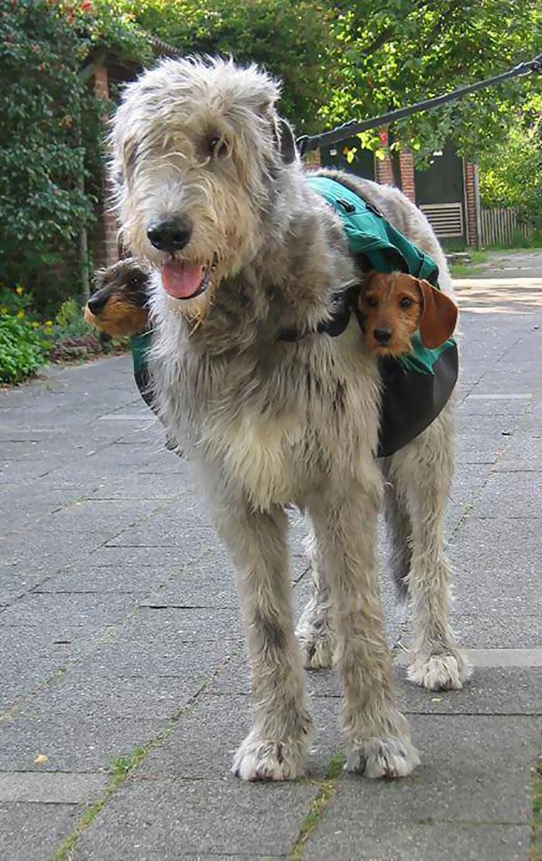 16張「懷疑根本混種到巨人基因」的愛爾蘭獵狼犬爆笑日常 迷你馬表示:尊重呢?
