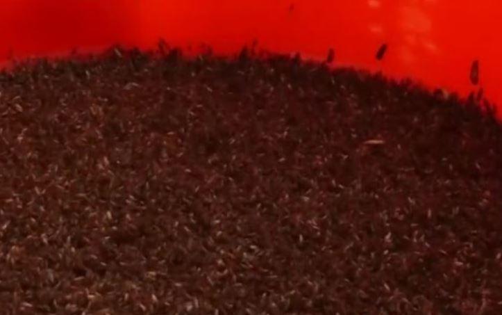 革命性垃圾處理法!中國工廠靠10億隻蟑螂 輕鬆清光「55噸廚餘垃圾」台灣也可以馬上仿傚~