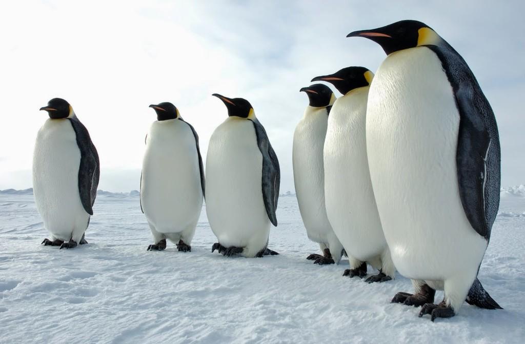 影/企鵝初見溜溜球...全體集合「超整齊快速甩頭」 網友笑歪重播10次:這批很純!