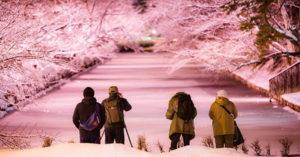 日本冬天竟出現第一波「櫻花河」?!粉紅點點落下太唯美...他近看才知道被騙