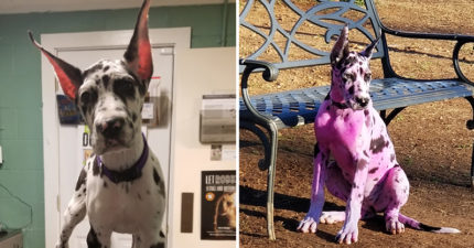 21歲少女把愛犬「染成桃紅色毛怪」 被網友罵翻還反嗆:誰叫路人都不愛我的狗!