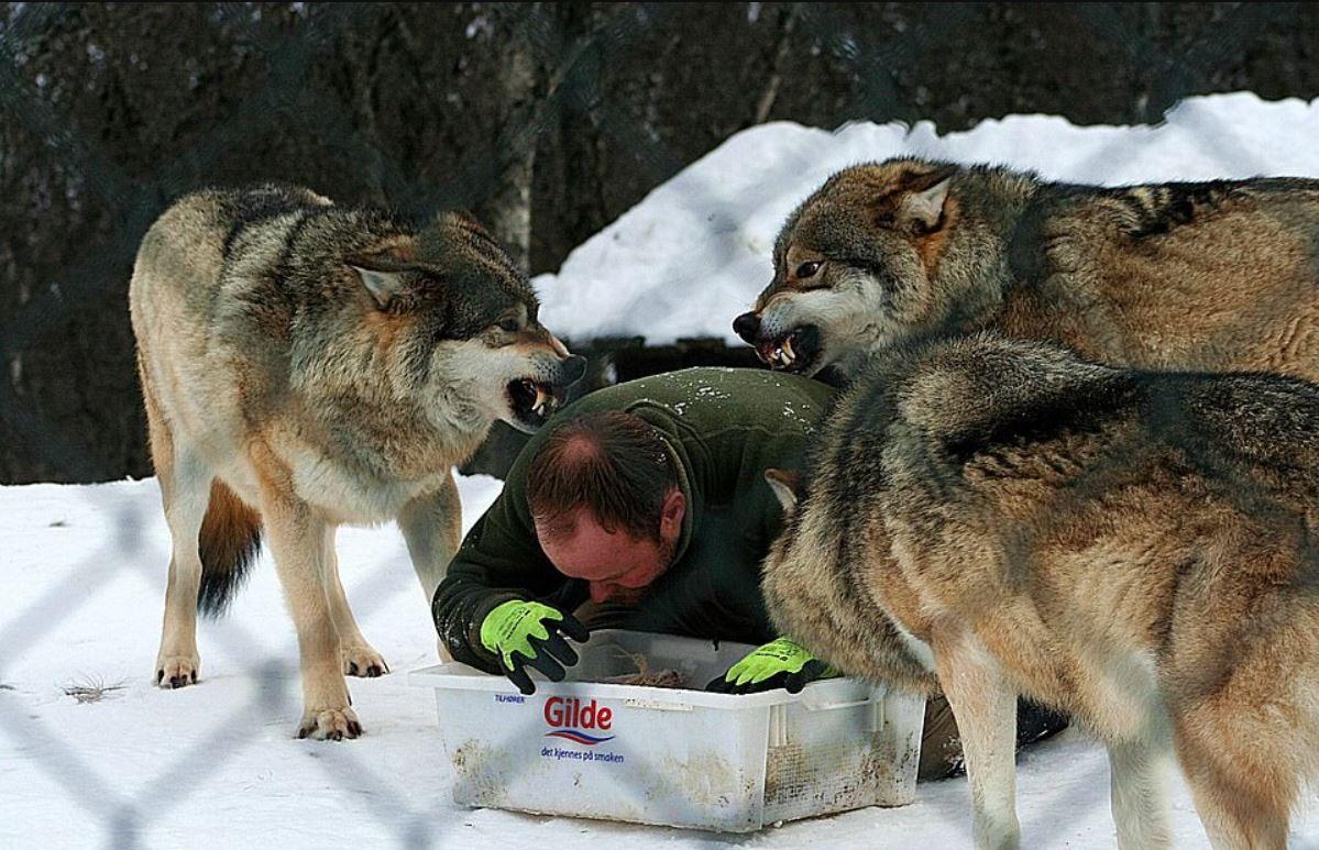飼育員養狼20年被拱當老大 每餐都要做「指定開飯動作」代表狼族滿滿的愛❤
