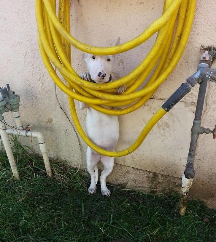 22個「明明就大塊頭卻比小孩還膽小」的爆笑狗狗 被掃地機器人逼到冰箱縫縫XD