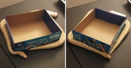 影/呆萌蛇看到紙箱開心圈住 玩到忘記移動...慘變「蛇蛇風火輪」