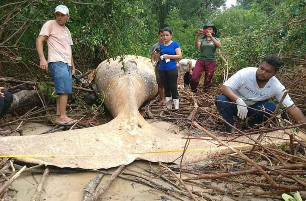 成群禿鷹罕見集體盤旋 巴西驚見座頭鯨寶寶「橫躺熱帶雨林」