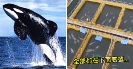 無人機在太平洋發現「數個巨大海牢」 上百隻鯨魚「全塞同1間」讓動保員暴氣:人類真無恥!