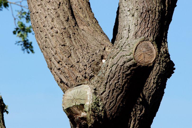 攝影師拍到超萌貓頭鷹 牠卻「神融合在樹幹上」網大崩潰:變鬥雞眼還找不到!