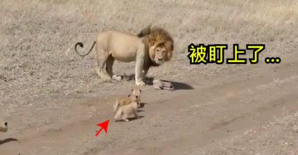 霸氣獅散步被「4隻小野獸」盯上 轉身「超孬反應」網笑翻:爸爸都一樣!