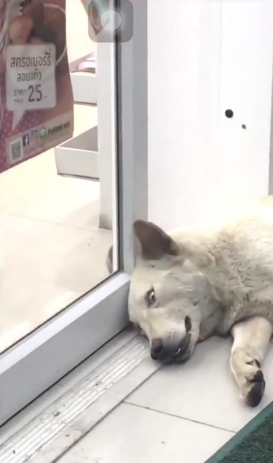 狗狗爽躺自動門邊睡午覺 門一關秒被「撸」出經典鬼臉...百萬人笑爆重播